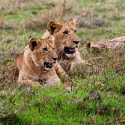 Nog meer leeuwinnen