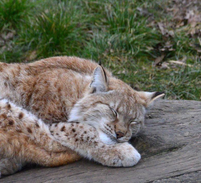 Lynx - Je zou de prachtige vacht van dit &quot;katje&quot; wel willen aaien, maar dat kun je toch maar beter laten als je leven je lief is.<br /> Je