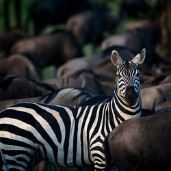 Zebra tijdens de migratie in de Serengeti NP