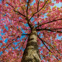 Japanse bloesemboom