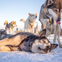 Husky's voldaan van de rit