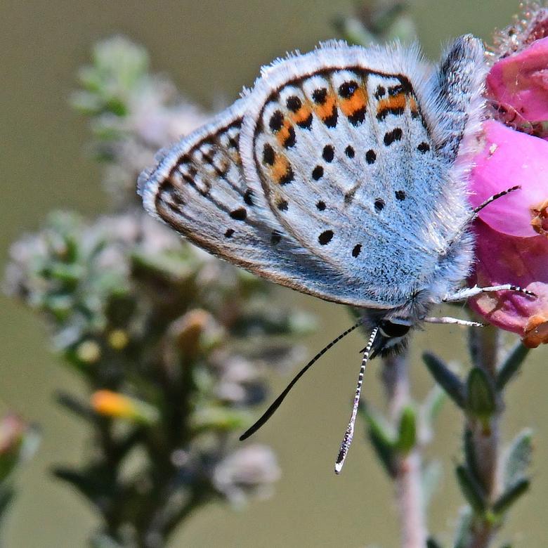 óók blauw - Het heideblauwtje is een soort van de vochtige heide. Buurserzand klinkt als een droog stuifzandgebied. Niets is minder waar. Delen zijn z
