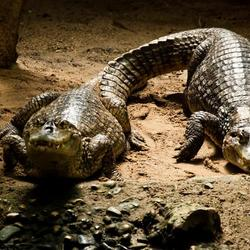 Krokodillen in het park