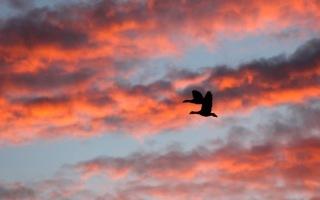 Kleurrijke lucht met ganzen - Met deze prachtige lentelucht was het een perfect moment voor deze ganzen om daar doorheen te vliegen.