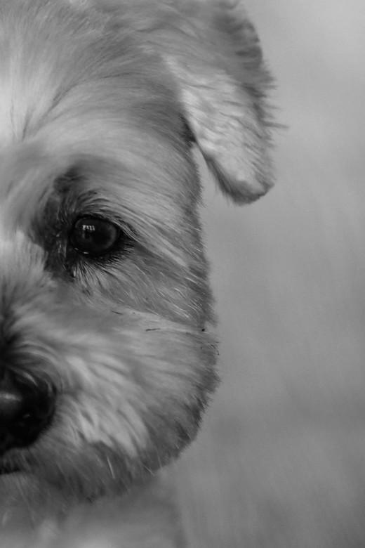 Hond - Me eigen hondje gefotografeerd en de foto bijgesneden. Omgezet naar zwart wit, is het een veel meer sprekende foto.
