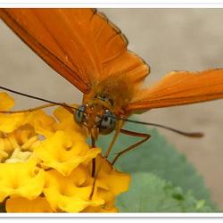 vlinderkop