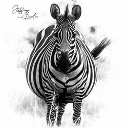 Zwangere zebra