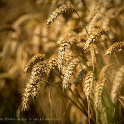 Waiting the harvest