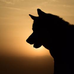 Husky bij zonsondergang