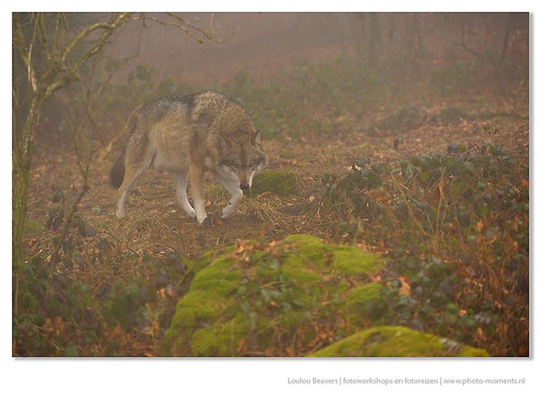 Wolf in de mist - In het wild zijn wolven schuwe dieren, die je nauwelijks kan zien. Laat staan dat je er een fatsoenlijke foto van kan maken. In het