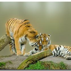 bewerking tijgers in Dierenrijk