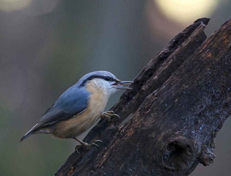 Boomklevertje - Een boomklevertje lekker aan het eten ..<br /> <br /> Bedankt voor de leuke reacties van de vorige upload <br /> Gr Jan<br /> www.