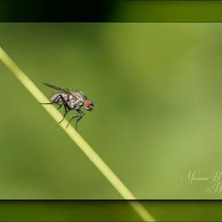 kleine vlieg