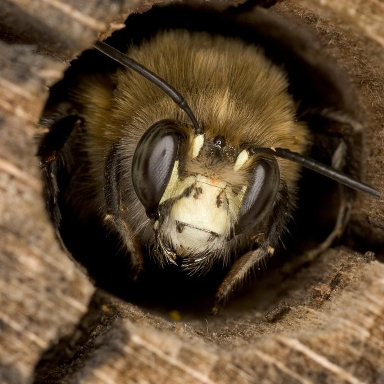 Bijtje in een holletje - In een insectenhotel zitten veel solitaire bijen.