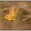 Dwergbijeneter