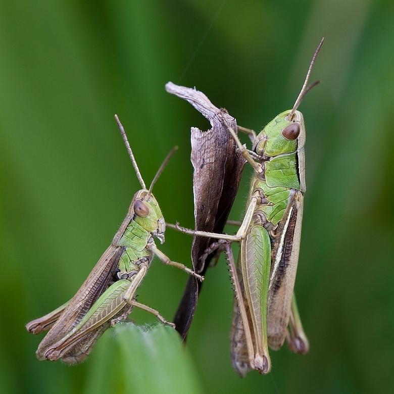 Jut en Jul - Een foto van gisteren van twee sprinkhanen bij het slootje achter ons huis. Het was moeilijk om ze op de foto te krijgen, ze zaten laag i