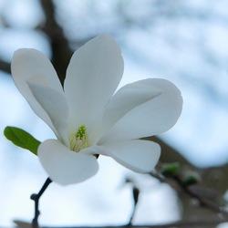 De Schoonheid van een magnolia