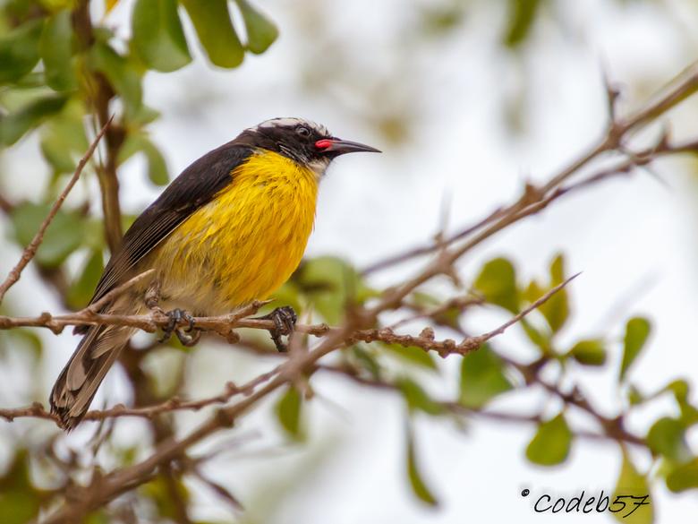 Suikerdiefje - Het suikerdiefje (Coereba flaveola) of Chibichibi is een veel voorkomende vogel op Bonaire. Het suikerdiefje dankt zijn naam aan zijn v