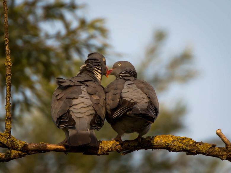 Tortelende duiven - Twee houtduiven maken elkaar het hof