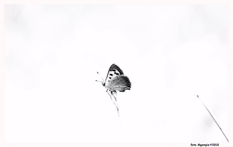 """Butterfly in black and white - Macro, maar dan eens een keer in zwart/wit.<br /> <br /> Bedankt voor de reacties op <a href=""""https://zoom.nl/foto/la"""