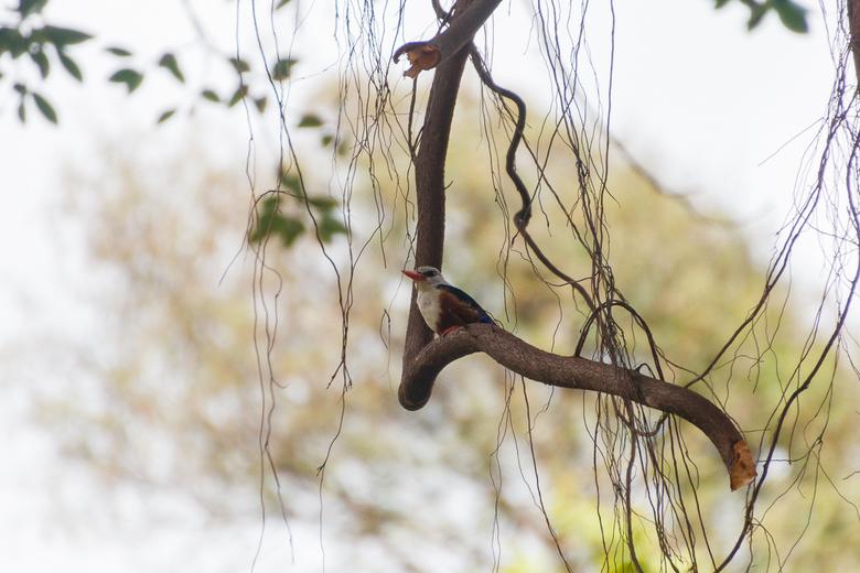 Grijskopijsvogel -