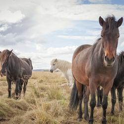 Wilde Paarden, IJsland
