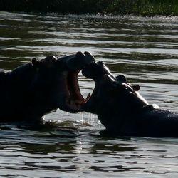 Nijlpaarden Santa Lucia