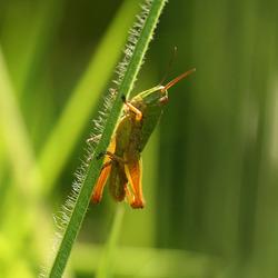 een klein sprinkhaantje in het gras