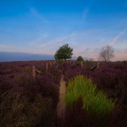 Purple Netherlands