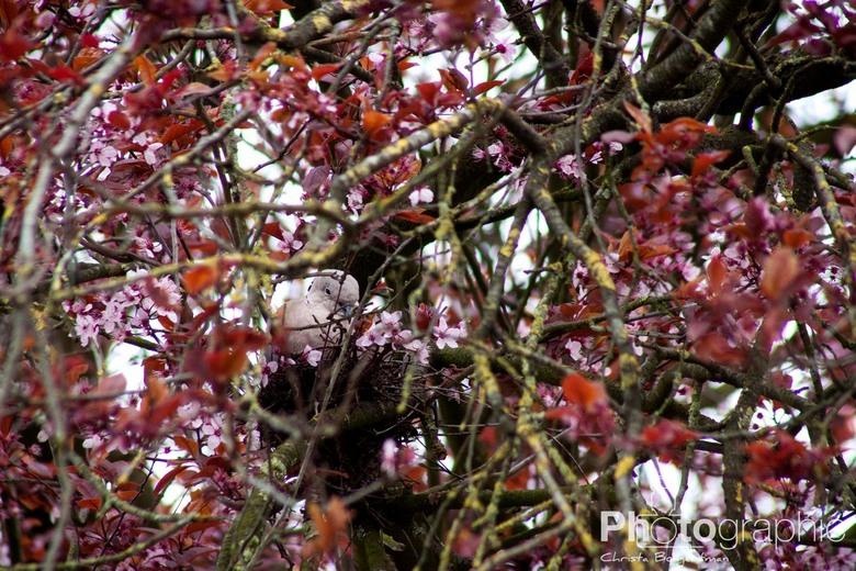 The blossom tree - Een Turkse tortelduif op het nest, in een bloesemboom