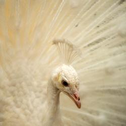 Oh beautiful white peacock....