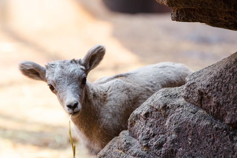 Hi there - Jong dikhoornschaap in de Desert van Burgers' Zoo komt even kijken waar ik mee bezig ben.