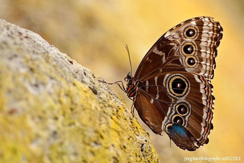 Vlinder - Leuke vlinders gespot bij de vlindertuin van de Orchideeenhoeve in Noord oost Flevoland.<br />