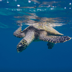 Hawksbill Encounter