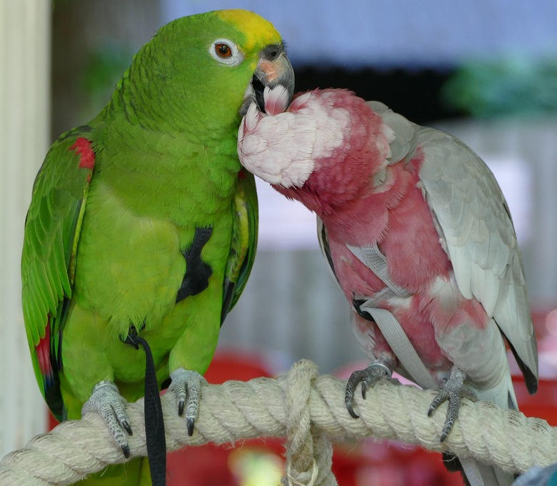 Papegaaienwandeling 25-5-2017: Amazone Lex verzorgt veertjes Rosé Mika.