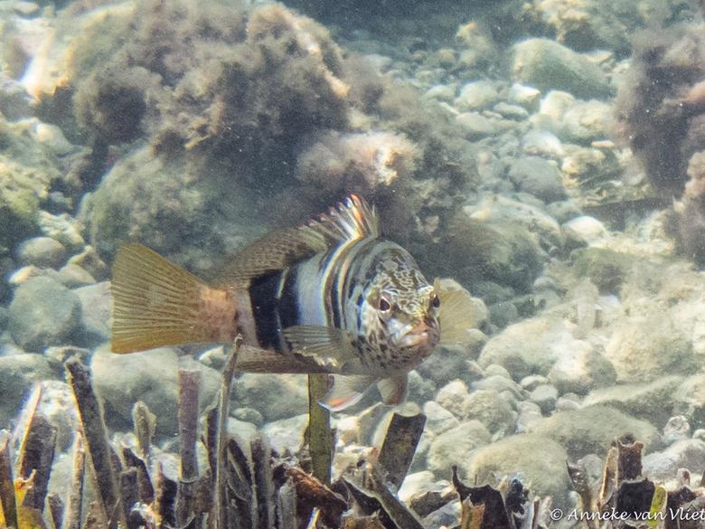 Schriftbaars (Serranus scriba) - is een straalvinnige vis uit de familie Zaag of Zeebaarzen (Serranidae) die voorkomt in het oosten van de Atlantische