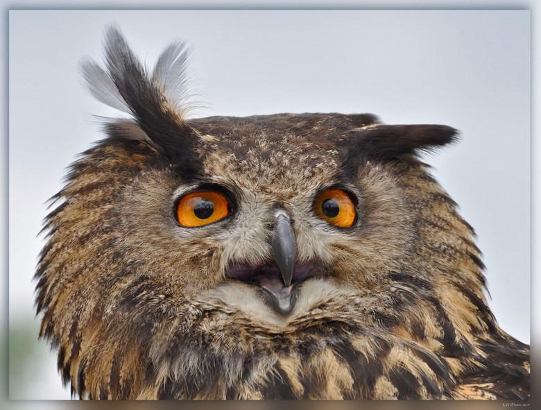 Europese Oehoe  - Deze uil is 60 tot 75 cm lang en heeft een spanwijdte van 160–188 cm. <br /> <br /> Mannetjes wegen 1,5 tot 2,8 kilogram.<br /> V