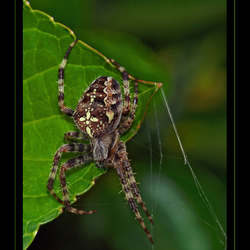 Kruis-spinsels