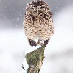 Holenuiltje in de sneeuw