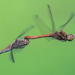 Bruinrode heidelibel / Sympetrum striola