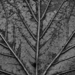 Zwart blad