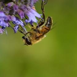 Bij op ijzerhard (Verbena bonariensis)
