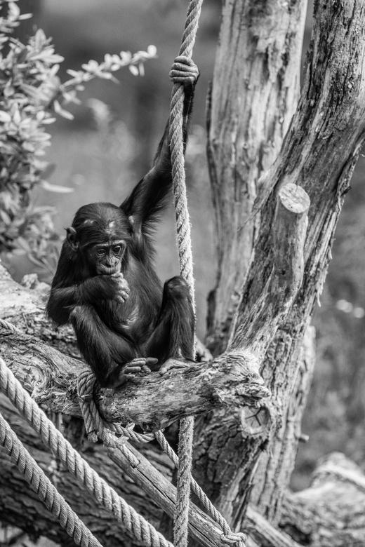 Chimp - Little chimp