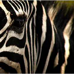 Portret Zebra - Serengeti NR - Tanzania