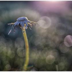 Dandelion in decay