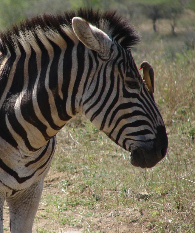 Zebra met ossenpikker - Zebra met ossenpikker, gemaakt in Kruger, Zuid-Afrika