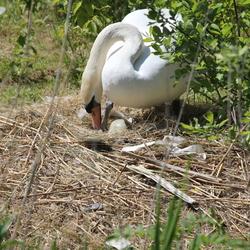 Zwaan op het nest