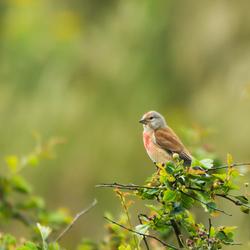 Wie weet de naam van dit vogeltje?