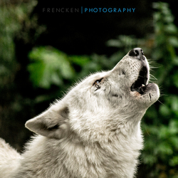 De huilende wolf
