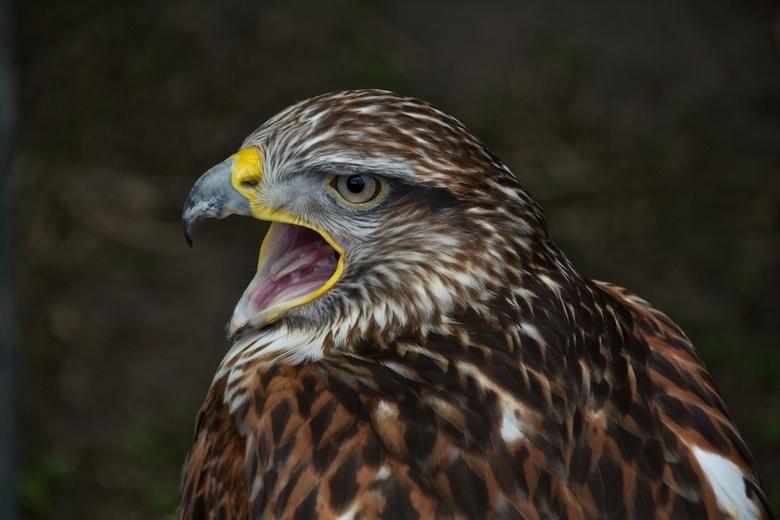 Buizerd - Open weekend Falcon-crest Eindhoven